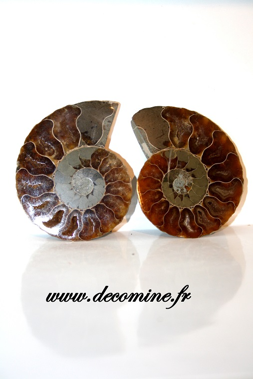 ammonite sciee de madagascar